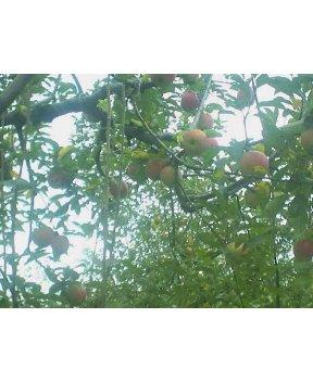 りんご食べ放題