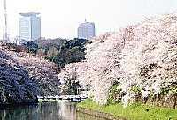 Sakura_chidori