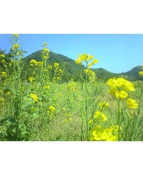 今日の菜の花